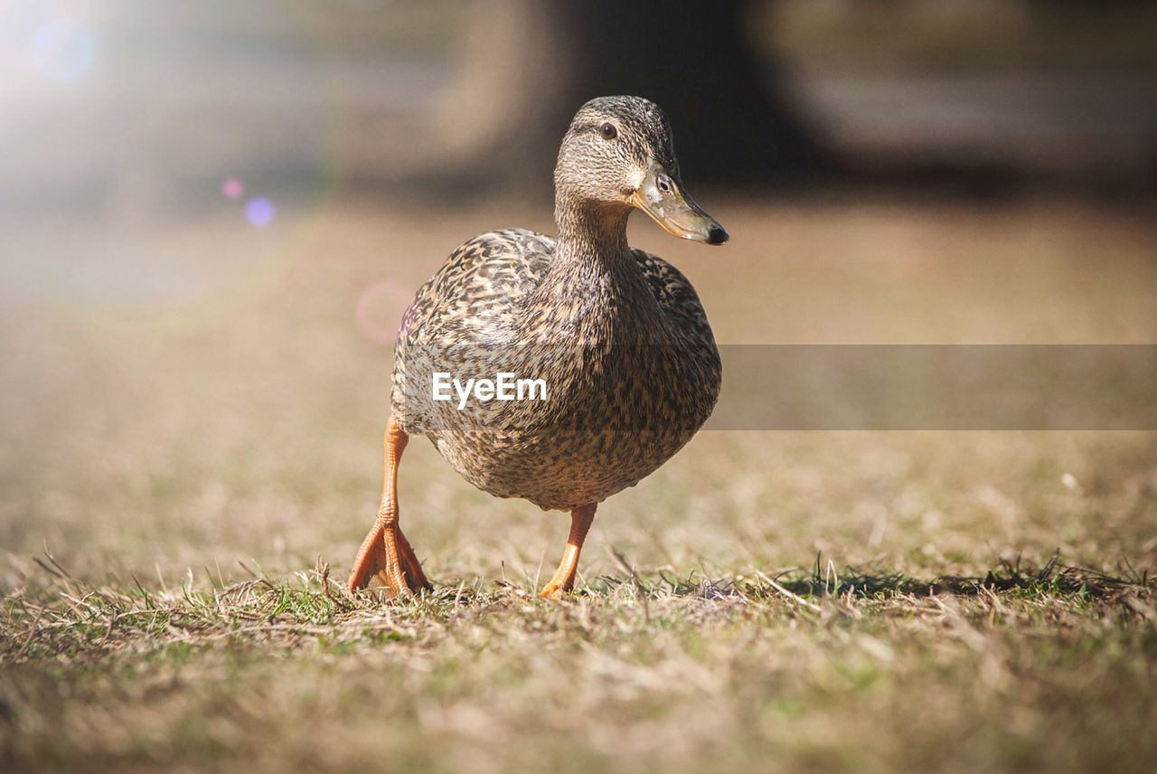 bird, animal themes, animal, vertebrate, animals in the wild, animal wildlife, selective focus, one animal, poultry, day, duck, no people, nature, field, land, close-up, outdoors, water bird, grass, mallard duck, surface level
