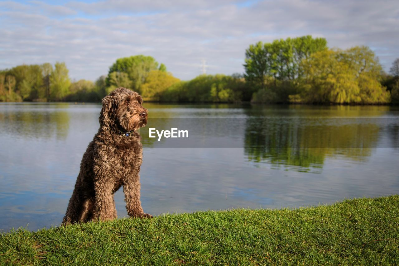 one animal, dog, canine, animal, animal themes, mammal, pets, plant, lake, domestic, domestic animals, vertebrate, water, tree, green color, grass, nature, day, growth, no people, outdoors