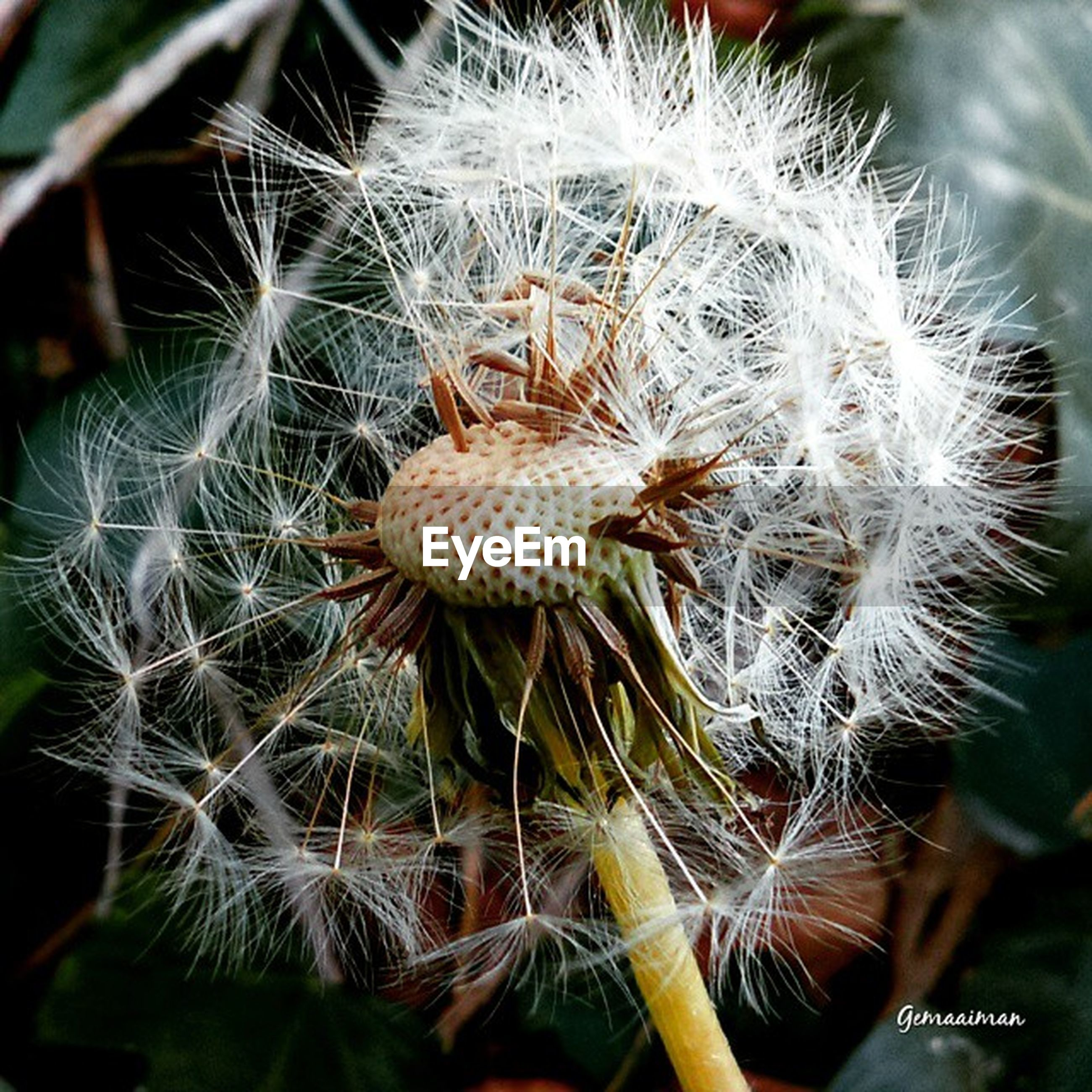growth, flower, dandelion, close-up, fragility, freshness, plant, nature, flower head, focus on foreground, beauty in nature, thorn, uncultivated, stem, softness, spiked, seed, cactus, dandelion seed, wildflower
