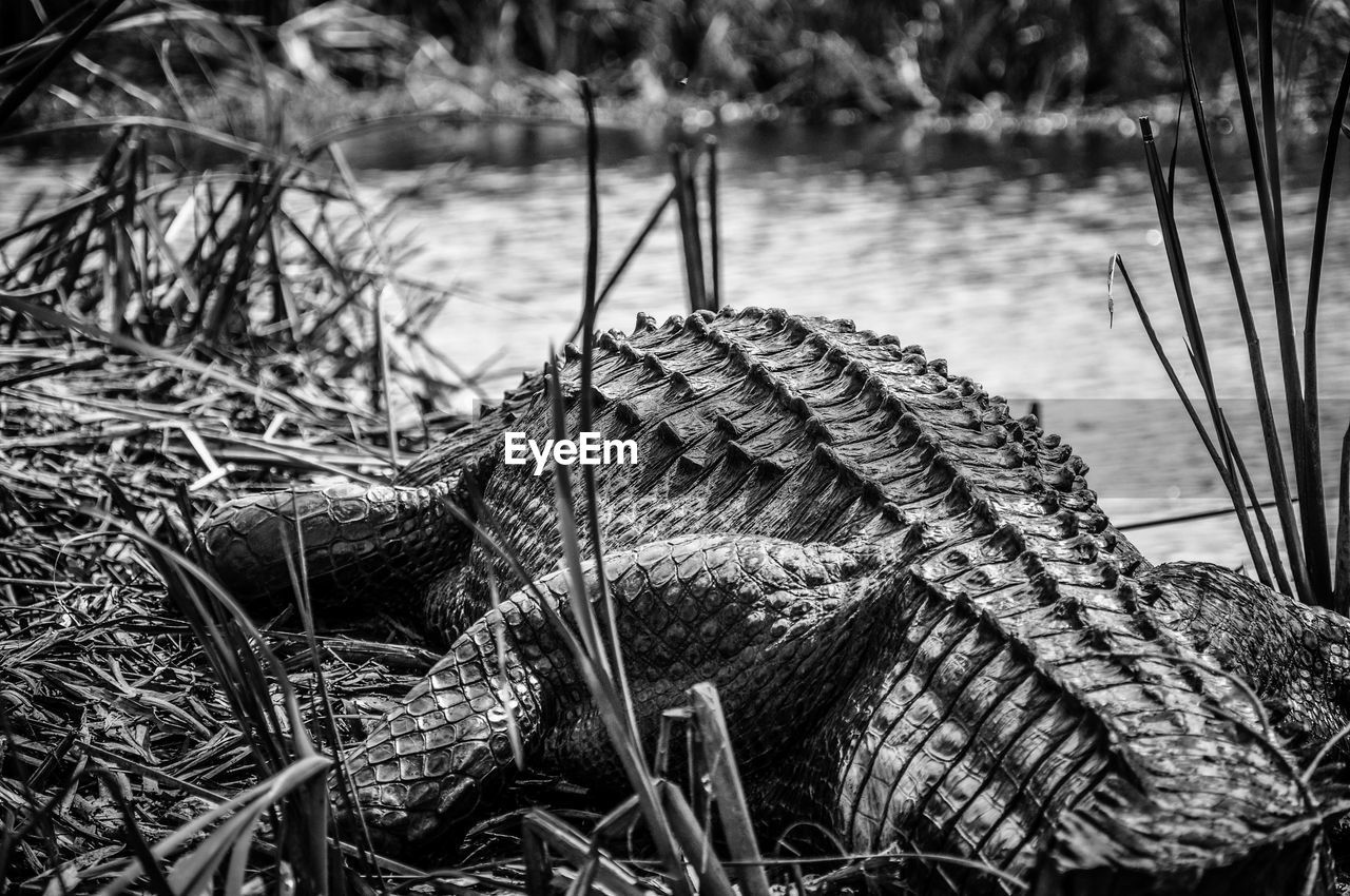 Rear view of crocodile resting on riverbank