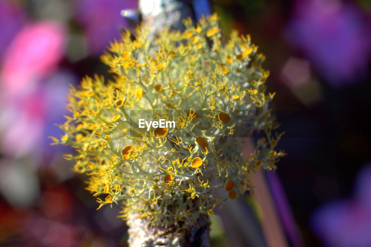 flower, flowering plant, plant, fragility, growth, vulnerability, close-up, beauty in nature, freshness, focus on foreground, selective focus, nature, yellow, day, petal, no people, inflorescence, flower head, outdoors, pollen, purple, bunch of flowers