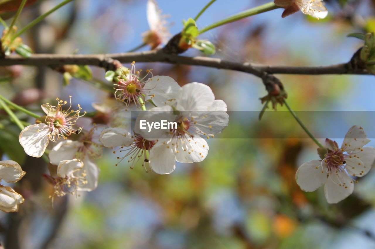 flower, flowering plant, plant, growth, fragility, vulnerability, beauty in nature, freshness, petal, tree, close-up, branch, blossom, focus on foreground, white color, springtime, nature, pollen, twig, cherry blossom, no people, flower head, outdoors, cherry tree, spring