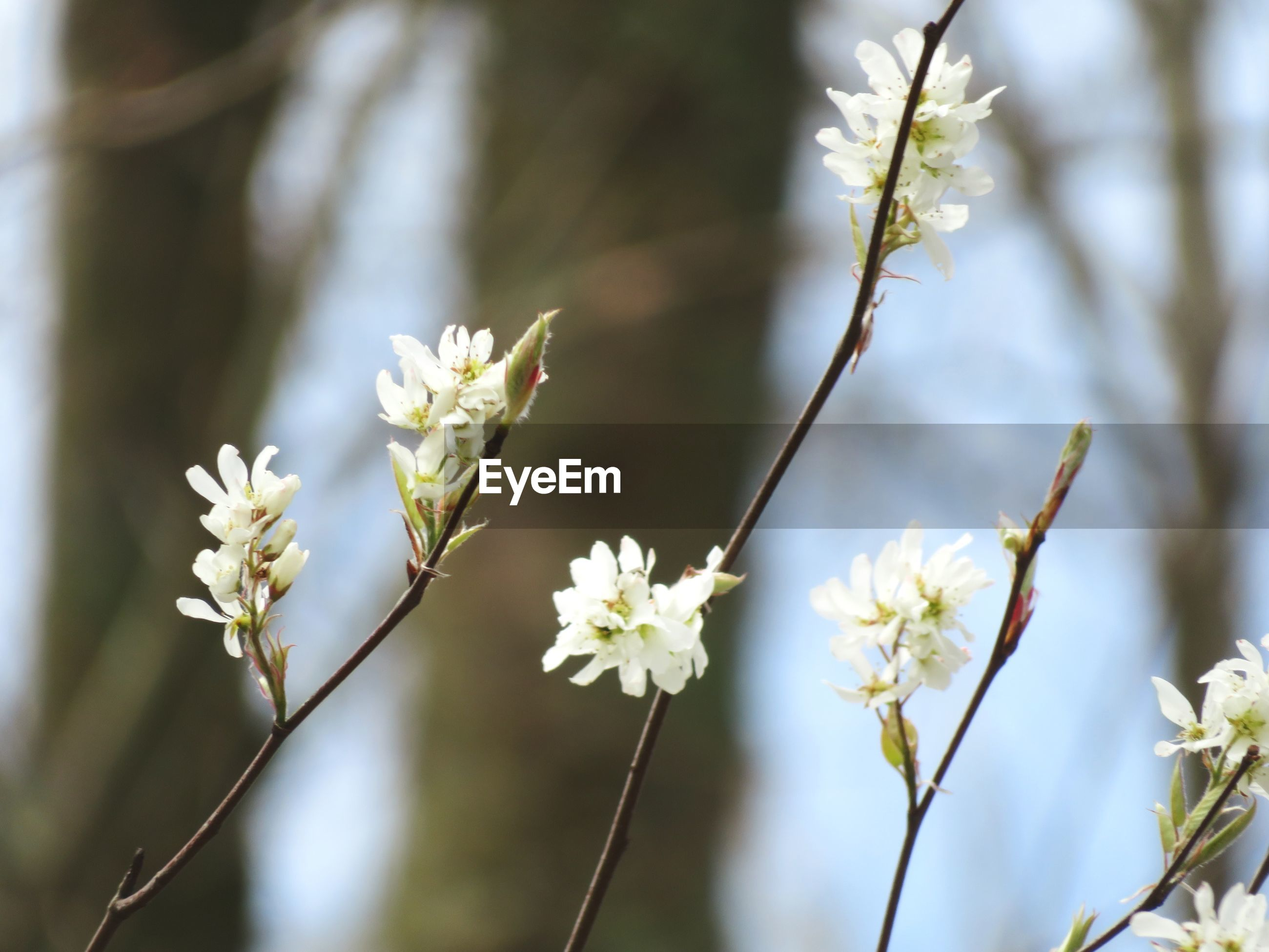 CLOSE-UP OF WHITE CHERRY BLOSSOM ON TWIG