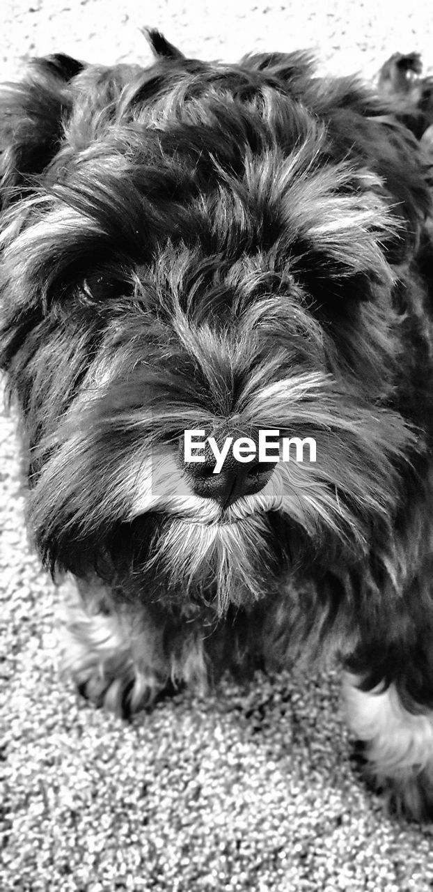 domestic, pets, mammal, domestic animals, one animal, animal themes, animal, dog, canine, animal hair, vertebrate, hair, animal body part, portrait, close-up, no people, looking at camera, lap dog, indoors, animal head, shih tzu, small