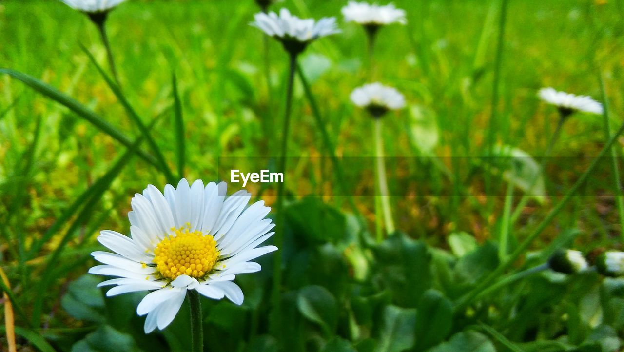 flower, flowering plant, freshness, plant, fragility, vulnerability, beauty in nature, growth, petal, white color, inflorescence, flower head, close-up, daisy, nature, pollen, focus on foreground, green color, no people, field, outdoors, softness