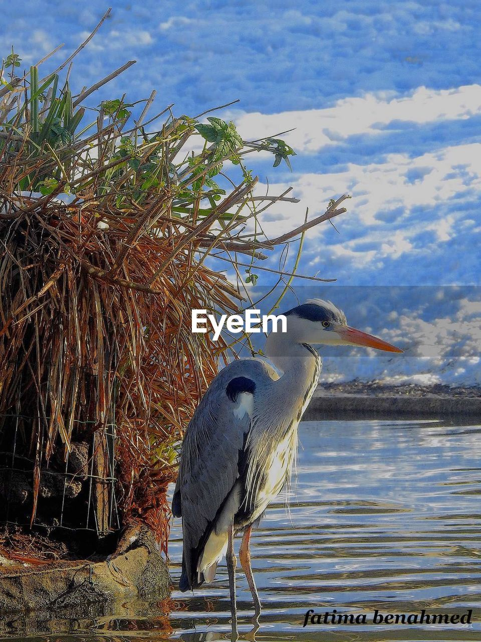 animal themes, animals in the wild, one animal, bird, day, water, nature, animal wildlife, lake, heron, outdoors, perching, no people, gray heron, beauty in nature, sky