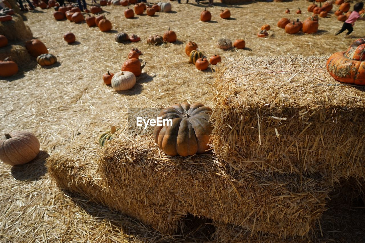 High angle view of pumpkins on field