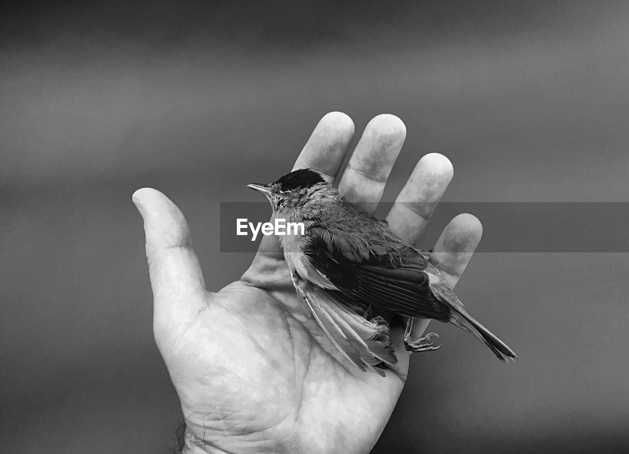 Cropped Hand Of Man Holding Dead Bird