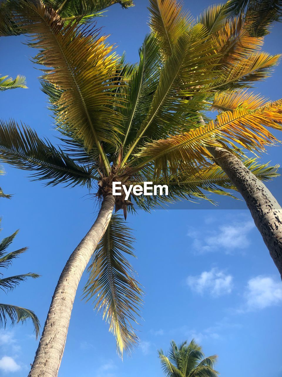 tree, plant, tropical climate, sky, growth, palm tree, tree trunk, trunk, low angle view, nature, beauty in nature, green color, day, leaf, no people, coconut palm tree, blue, cloud - sky, branch, outdoors, tropical tree, palm leaf