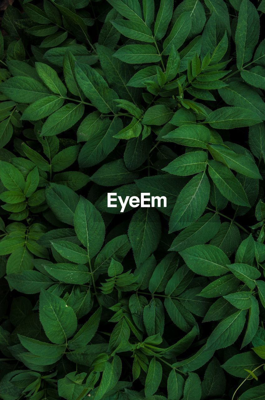 green color, leaf, plant part, full frame, backgrounds, plant, nature, freshness, growth, close-up, no people, food and drink, food, beauty in nature, abundance, herb, wellbeing, high angle view, healthy eating, leaves