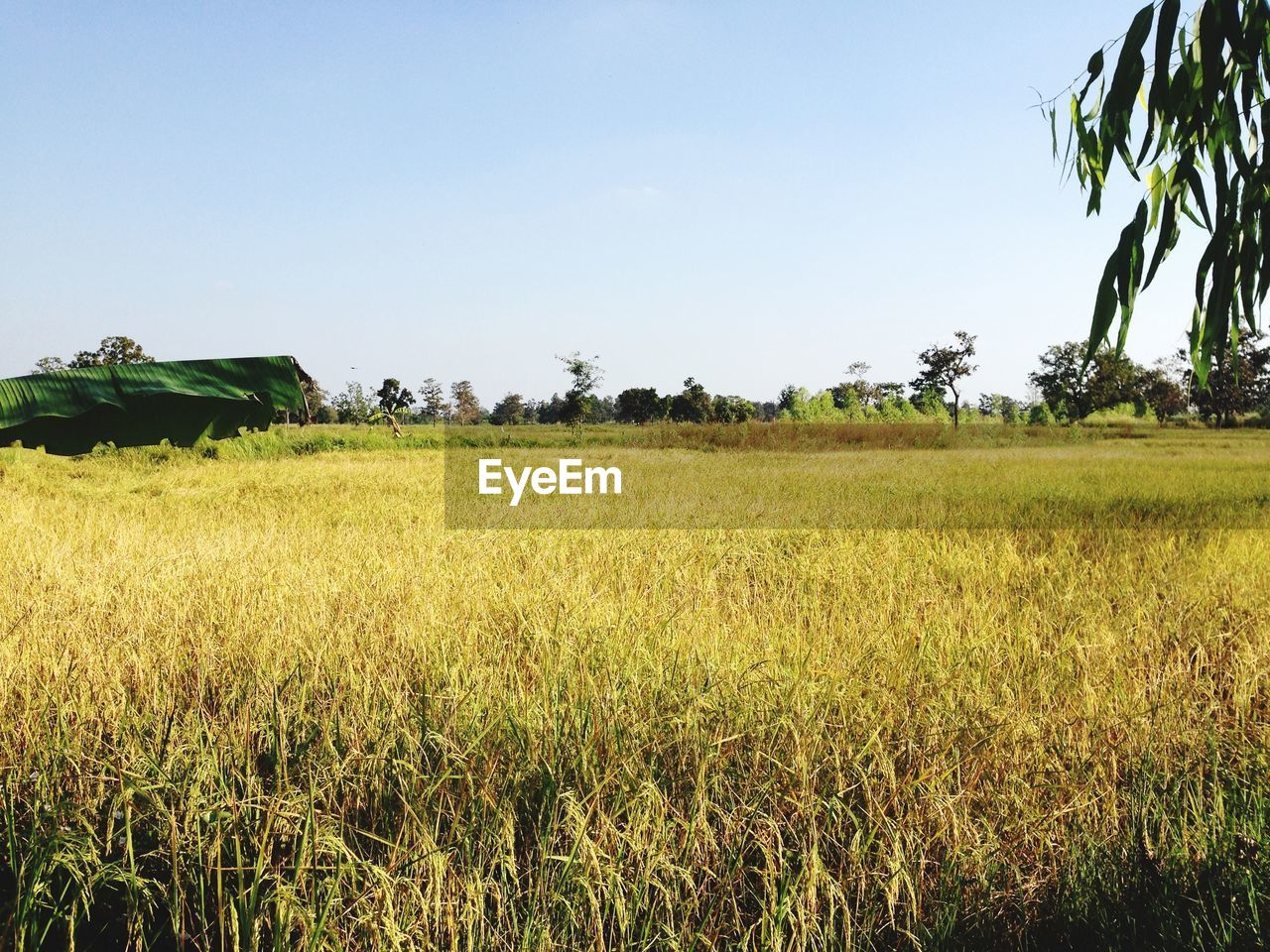 plant, sky, field, tree, land, landscape, nature, environment, growth, beauty in nature, grass, tranquility, clear sky, tranquil scene, agriculture, scenics - nature, no people, green color, rural scene, day, outdoors