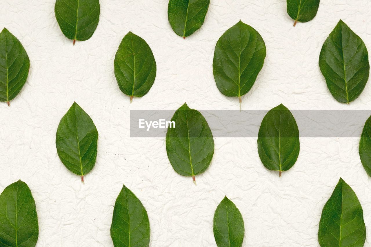 leaf, plant part, green color, no people, close-up, full frame, plant, nature, directly above, herb, leaves, white color, pattern, mint leaf - culinary, freshness, backgrounds, basil, ivy, indoors, day