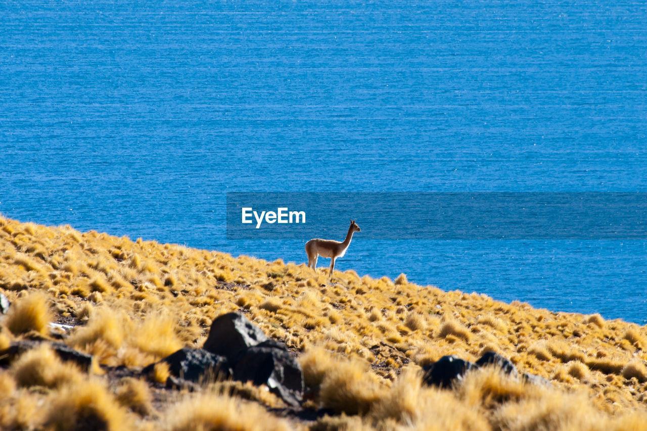 Vicuna in the Altiplano Chile Altiplano Atacama San Pedro De Atacama Vicuña