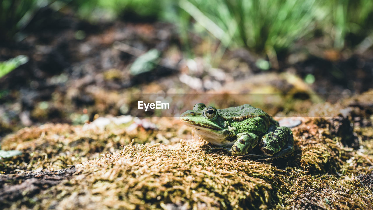 animals in the wild, animal wildlife, one animal, animal, animal themes, reptile, selective focus, vertebrate, amphibian, no people, nature, frog, day, lizard, land, close-up, field, green color, looking away, rock - object, animal head, animal scale