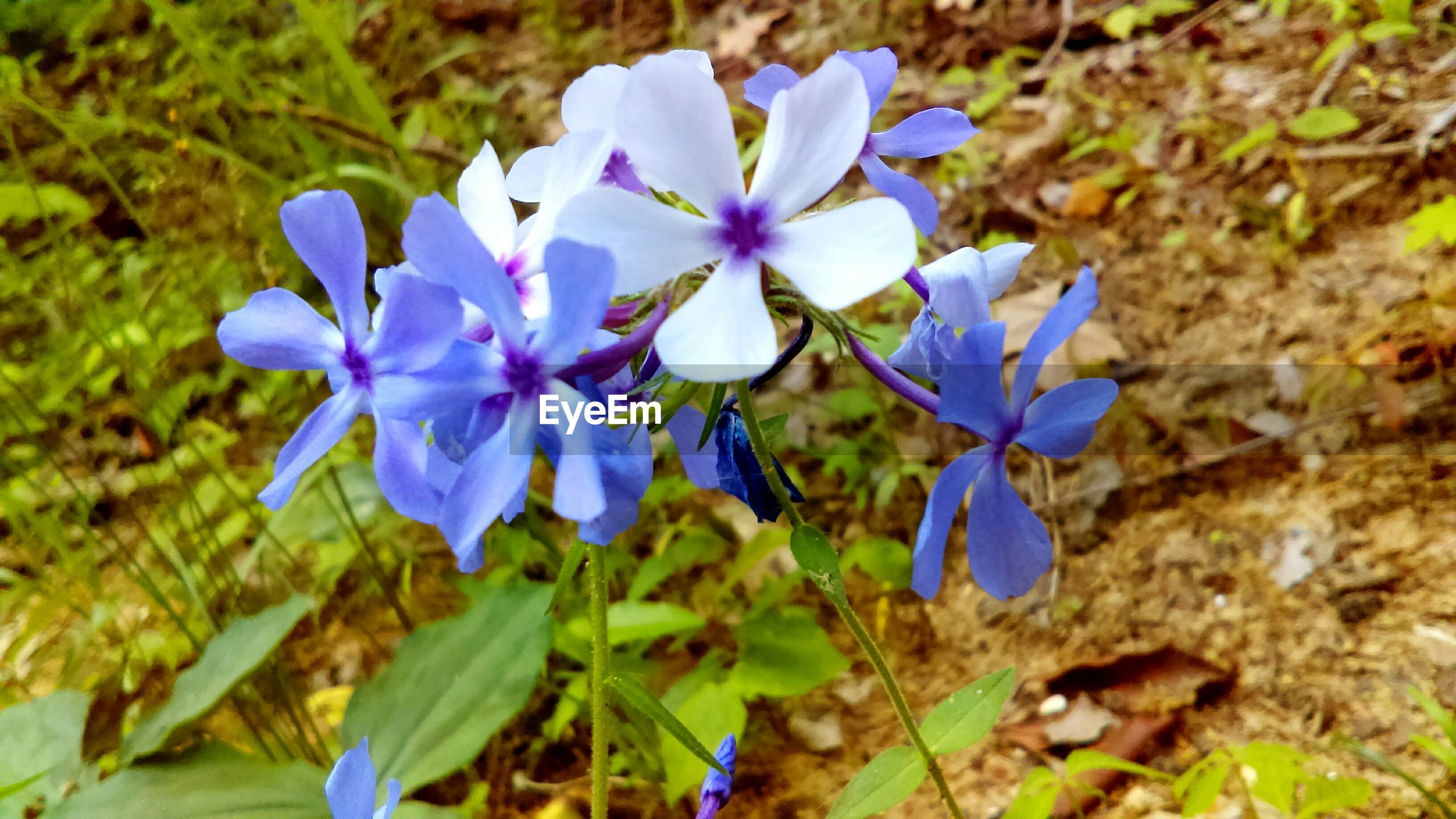 flower, purple, freshness, petal, fragility, growth, flower head, beauty in nature, nature, blooming, close-up, plant, focus on foreground, blue, leaf, field, high angle view, in bloom, day, outdoors