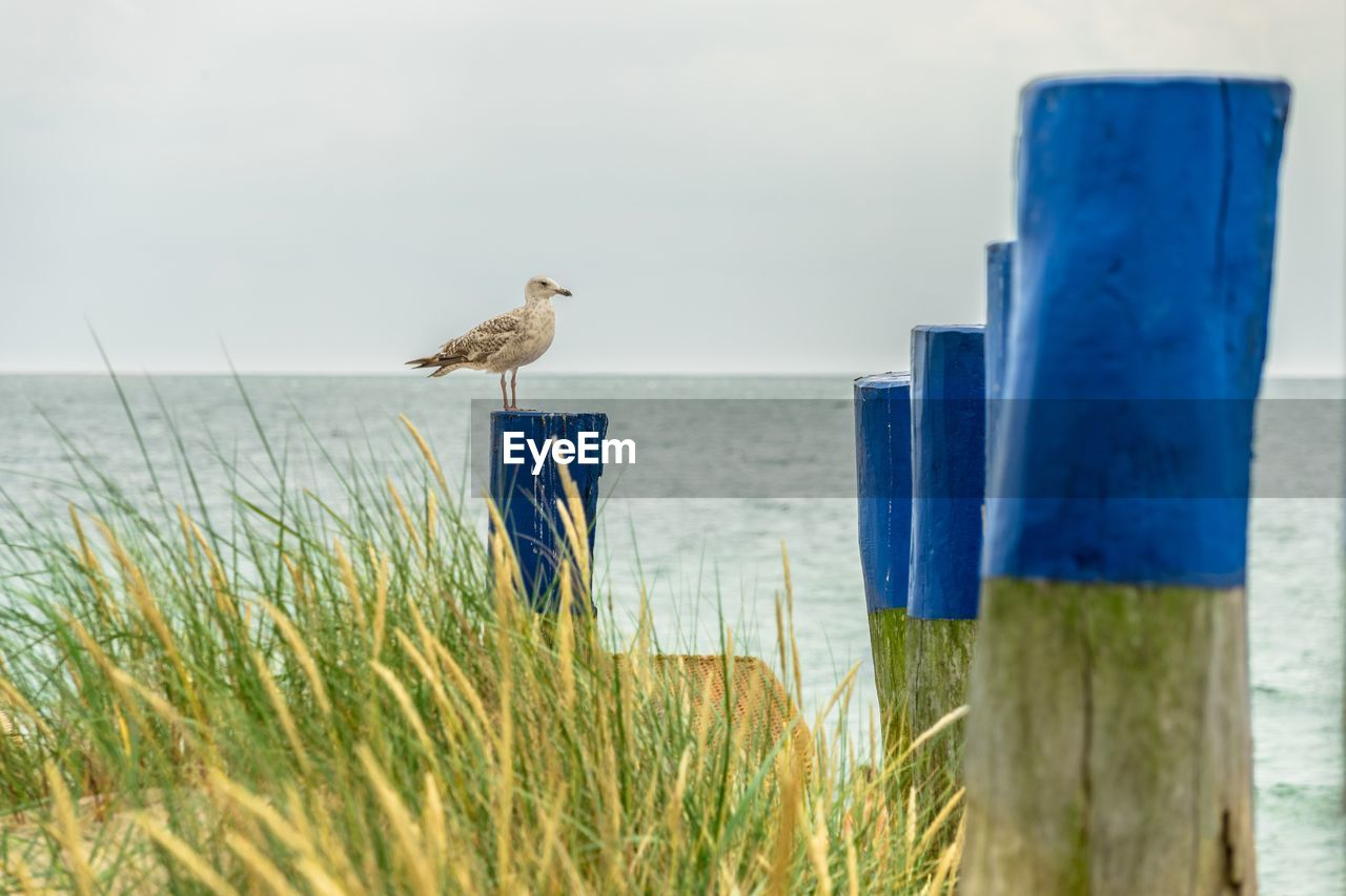 Side View Of Seagull Perching On Blue Painted Wooden Post Against Clear Sky