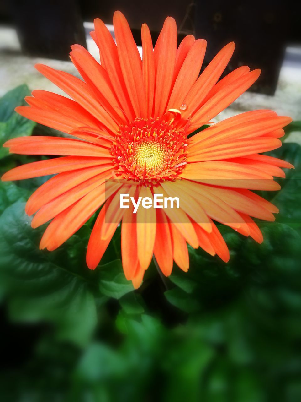 flower, petal, fragility, beauty in nature, flower head, nature, freshness, growth, plant, orange color, close-up, pollen, blooming, no people, day, outdoors