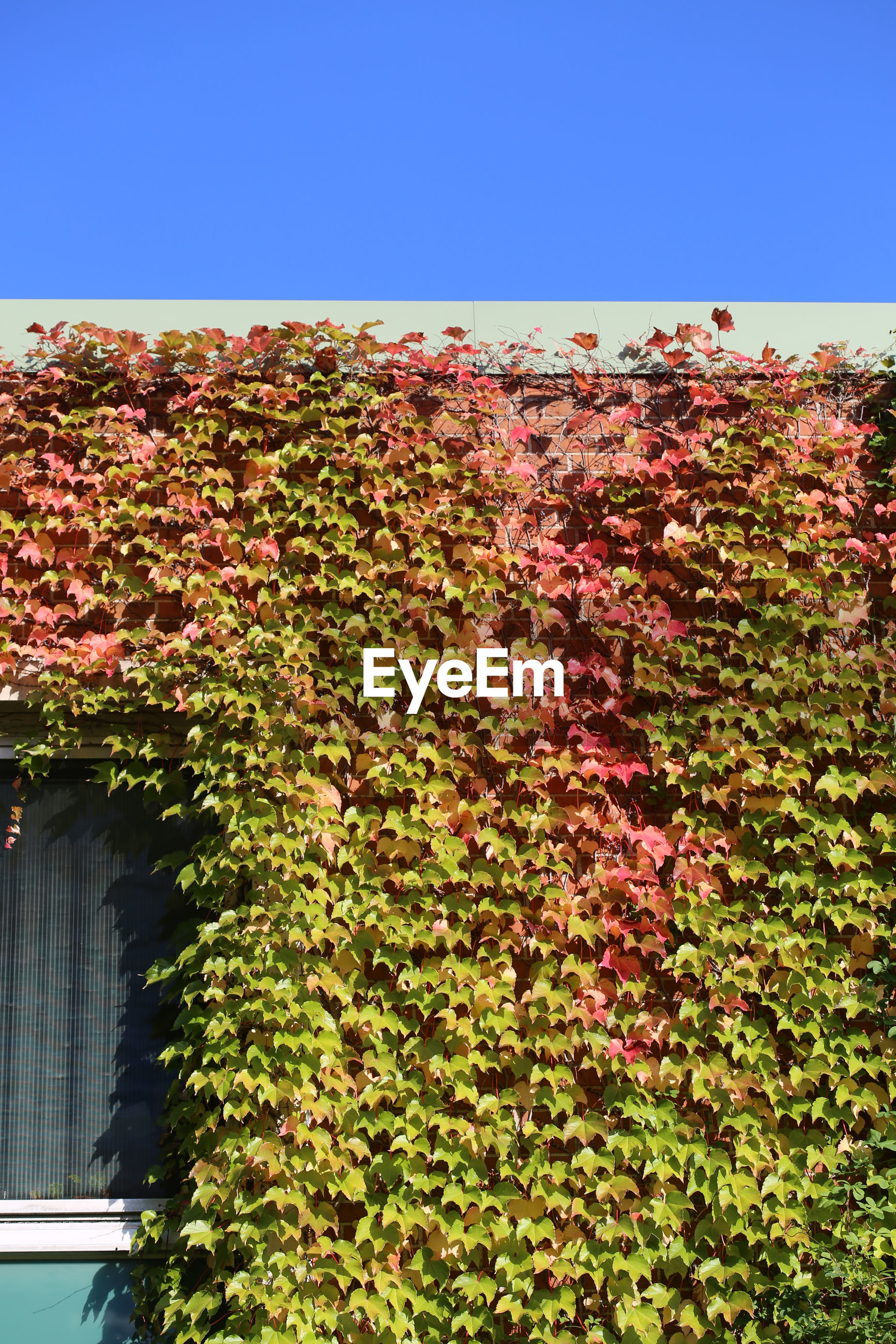 IVY GROWING ON PLANT AGAINST BUILDING