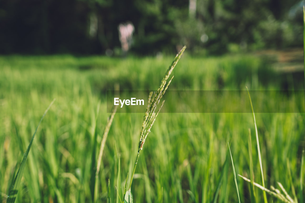 plant, growth, green color, field, land, focus on foreground, tranquility, grass, beauty in nature, nature, day, close-up, landscape, no people, agriculture, crop, farm, rural scene, outdoors, selective focus, blade of grass