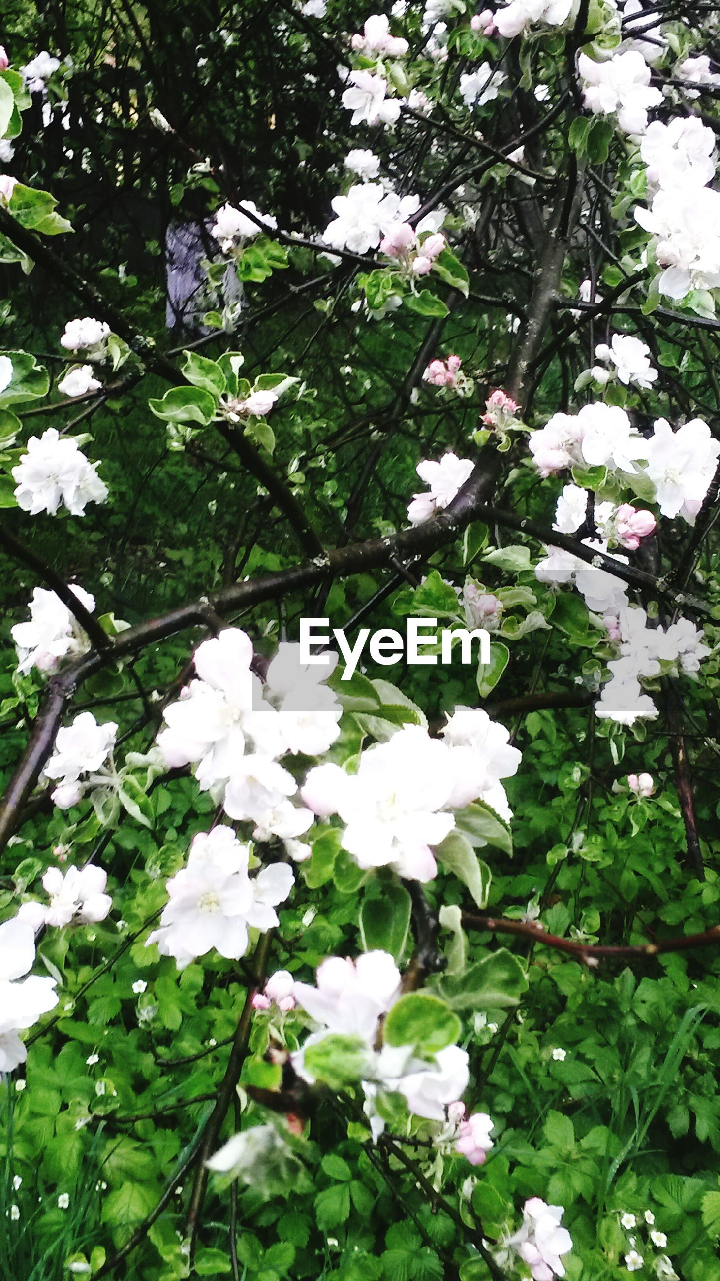flower, white color, growth, freshness, fragility, tree, branch, nature, leaf, beauty in nature, low angle view, blossom, blooming, white, plant, petal, in bloom, day, springtime, outdoors