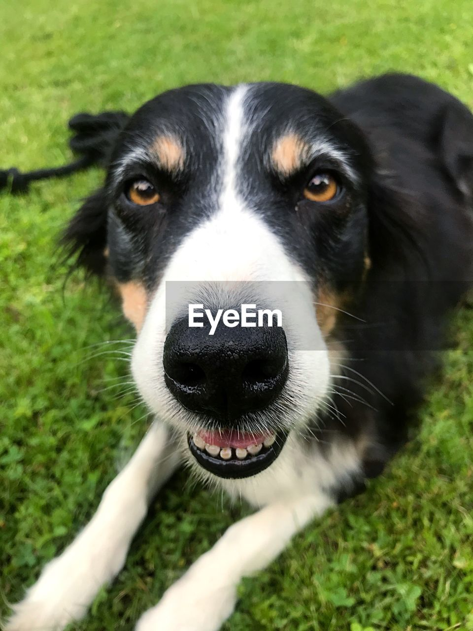 one animal, dog, domestic, canine, pets, domestic animals, mammal, animal themes, looking at camera, animal, portrait, vertebrate, field, grass, plant, day, close-up, animal body part, black color, animal head, outdoors, border collie, mouth open, animal nose, snout