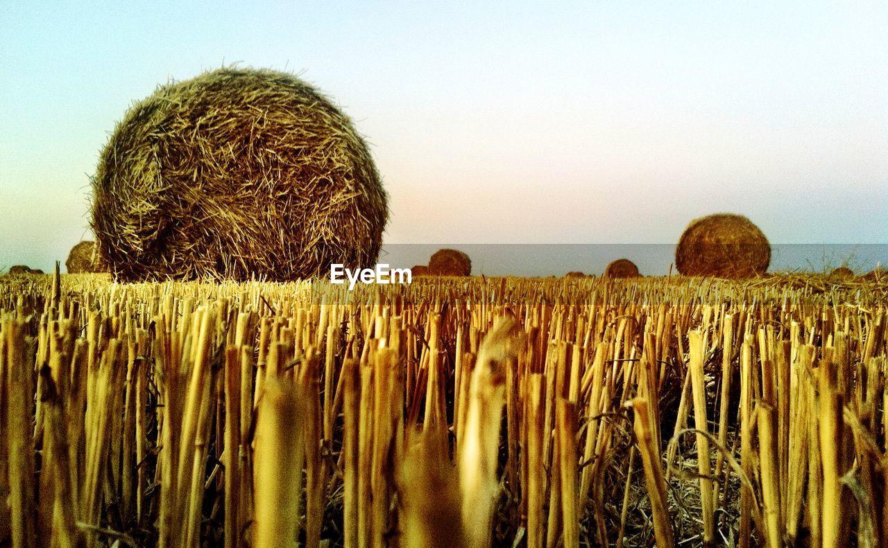 Hay bales in fields against clear sky