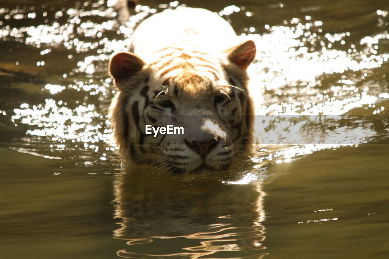 one animal, animal, animal themes, water, mammal, animal wildlife, animals in the wild, nature, sunlight, waterfront, lake, looking at camera, day, portrait, no people, vertebrate, tiger, big cat, outdoors, white tiger, animal head