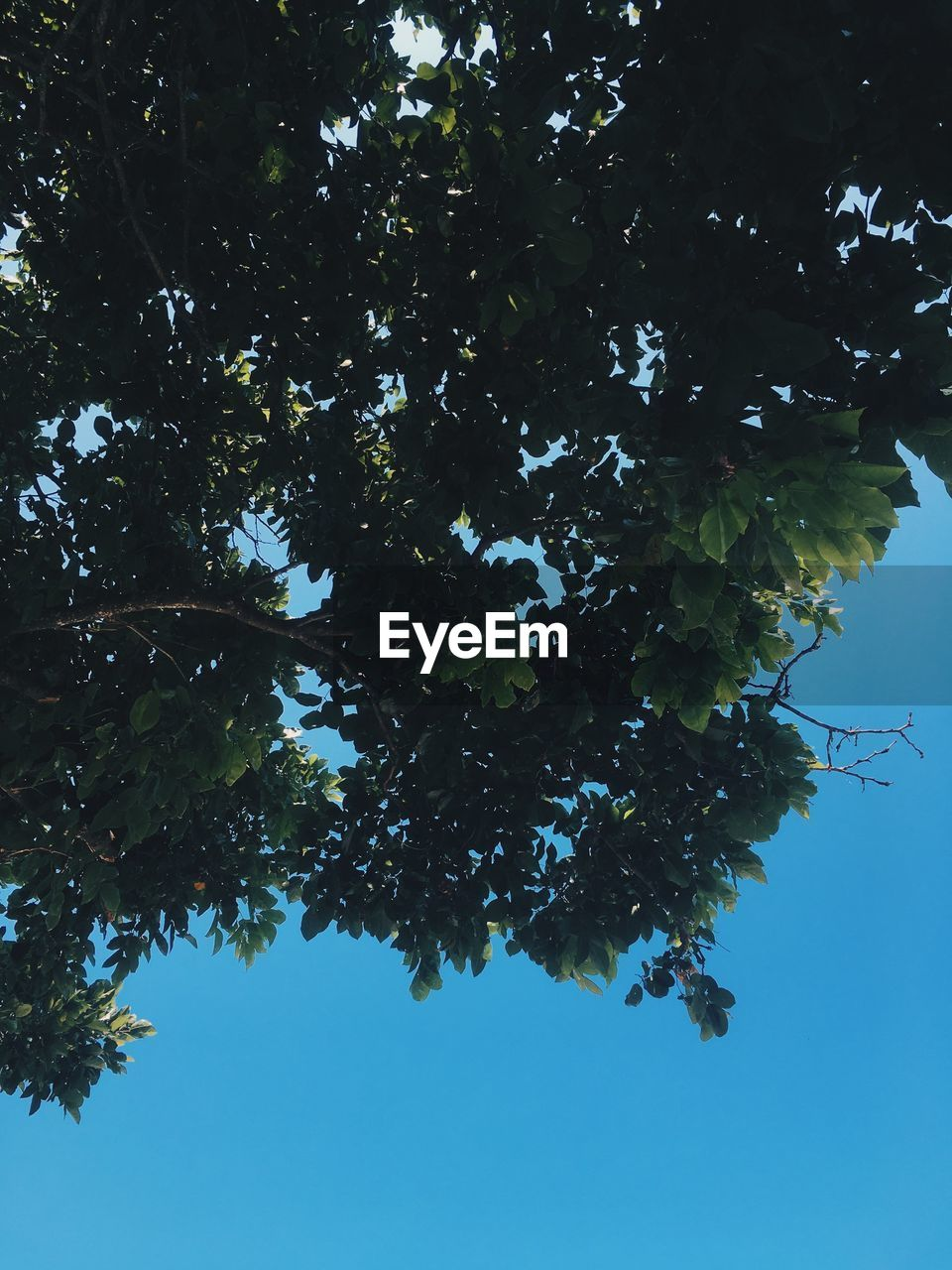 tree, plant, sky, growth, low angle view, nature, beauty in nature, day, no people, clear sky, plant part, branch, tranquility, leaf, outdoors, blue, green color, sunlight, scenics - nature, close-up, directly below, tree canopy