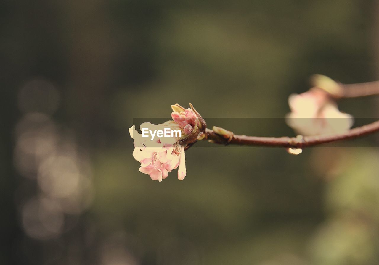 flower, flowering plant, plant, fragility, vulnerability, beauty in nature, freshness, close-up, growth, focus on foreground, petal, nature, inflorescence, pink color, day, flower head, selective focus, no people, blossom, outdoors, springtime, pollen, cherry blossom, spring