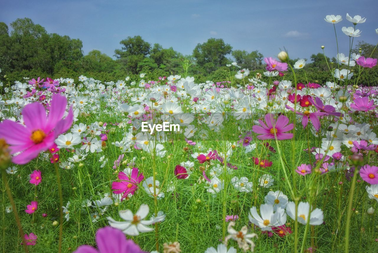 CLOSE-UP OF PINK COSMOS FLOWERS IN FIELD