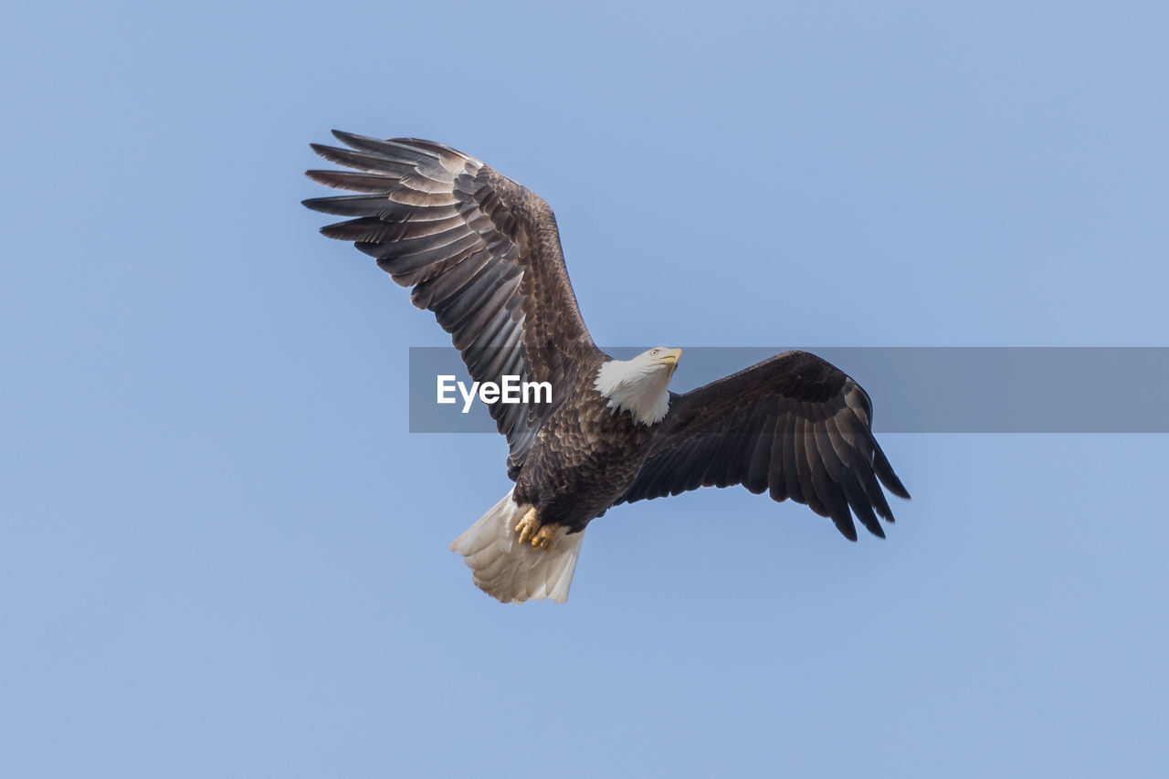 animals in the wild, animal wildlife, animal, animal themes, vertebrate, flying, sky, bird, spread wings, one animal, low angle view, clear sky, bird of prey, eagle, copy space, no people, blue, bald eagle, eagle - bird, mid-air