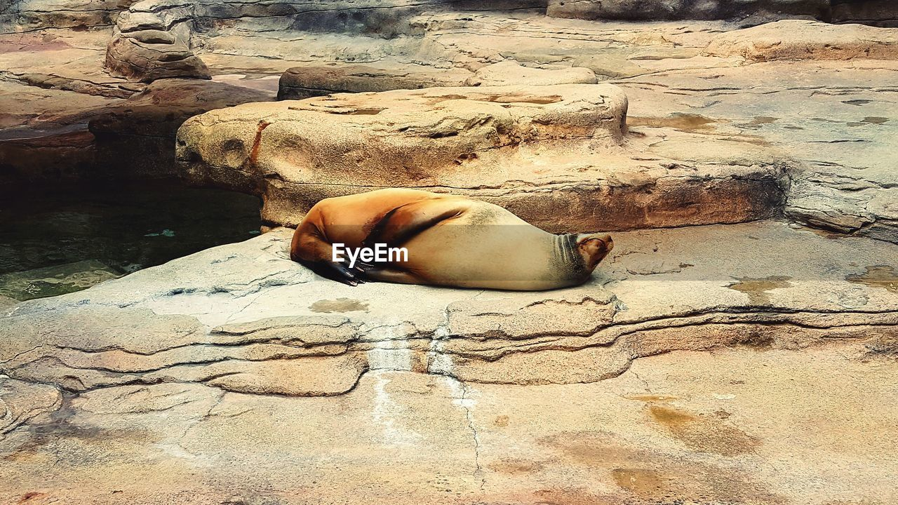 rock - object, one animal, animals in the wild, day, animal themes, no people, nature, outdoors, sea lion, mammal, water, sea life