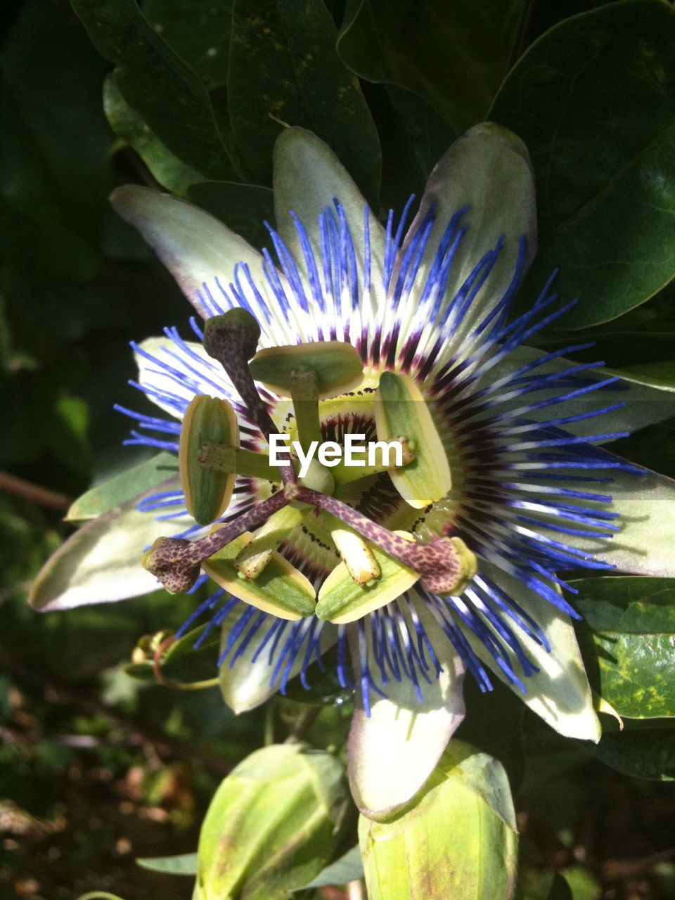 flower, petal, growth, flower head, beauty in nature, fragility, nature, freshness, passion flower, plant, close-up, no people, day, blooming, pollen, outdoors, stamen