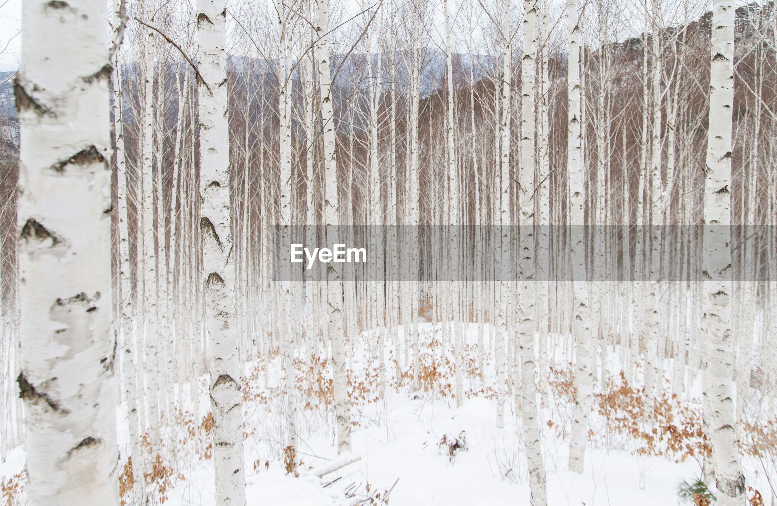 Bare trees on snow at forest