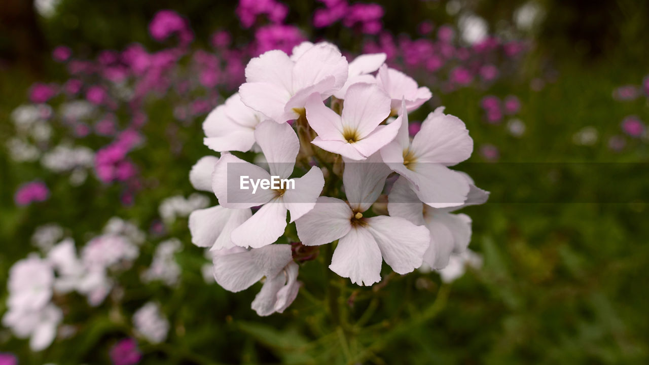 flower, flowering plant, beauty in nature, plant, vulnerability, fragility, petal, freshness, growth, close-up, flower head, inflorescence, nature, focus on foreground, no people, white color, day, outdoors, botany, pink color, purple, lilac