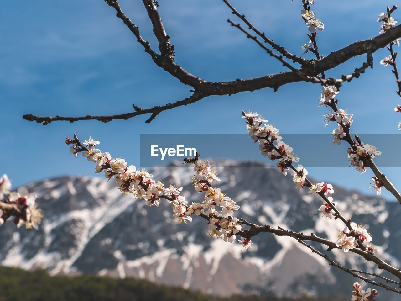 Low angle view of cherry blossoms against sky and mountains