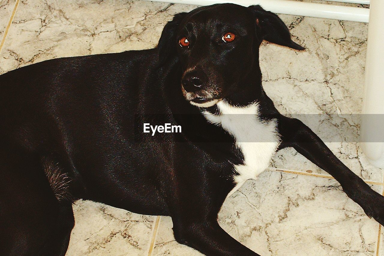 dog, mammal, pets, domestic animals, one animal, animal themes, black color, high angle view, portrait, no people, day, looking at camera, relaxation, sitting, outdoors, close-up