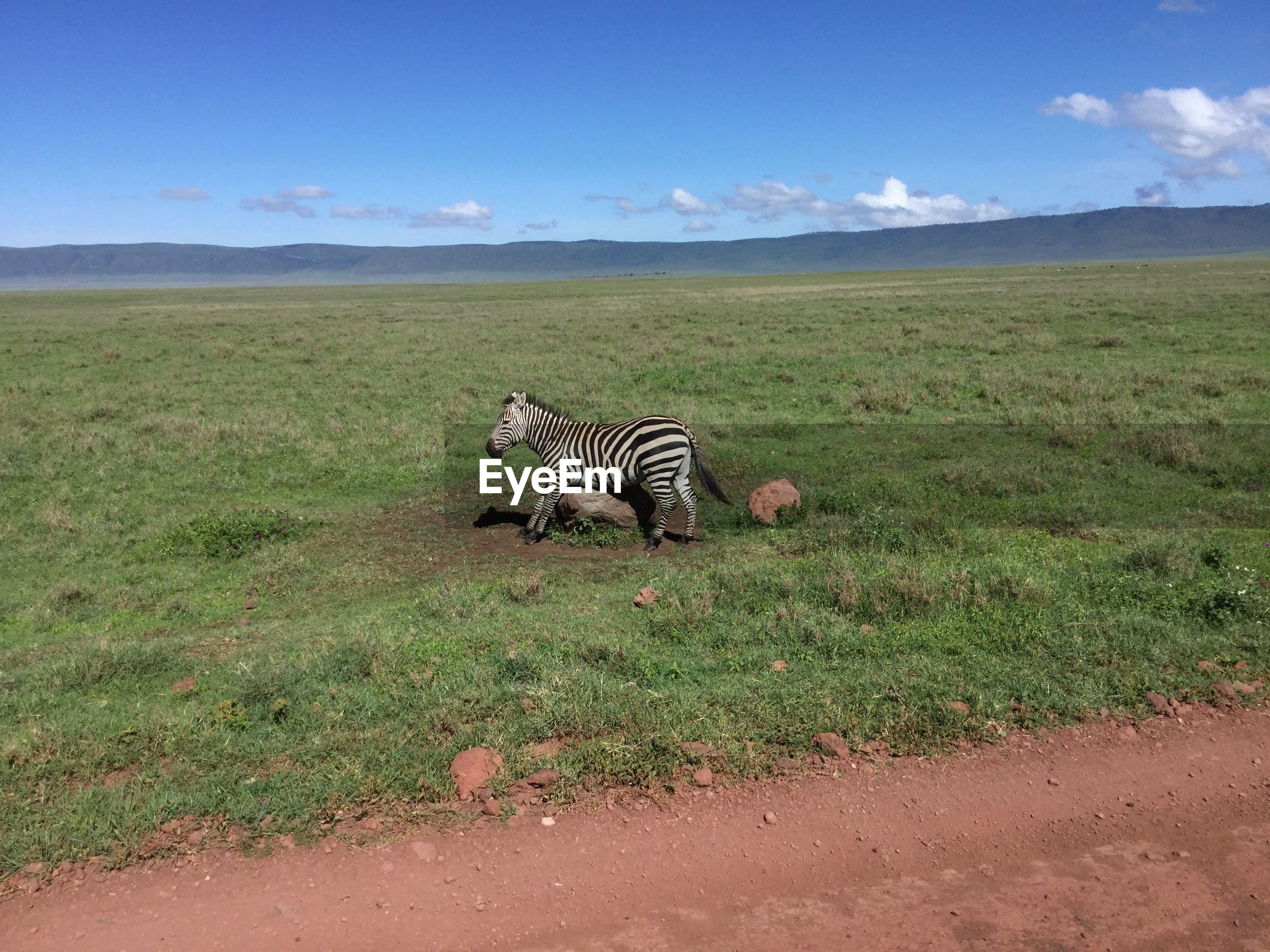 Young zebra on grassy field against sky