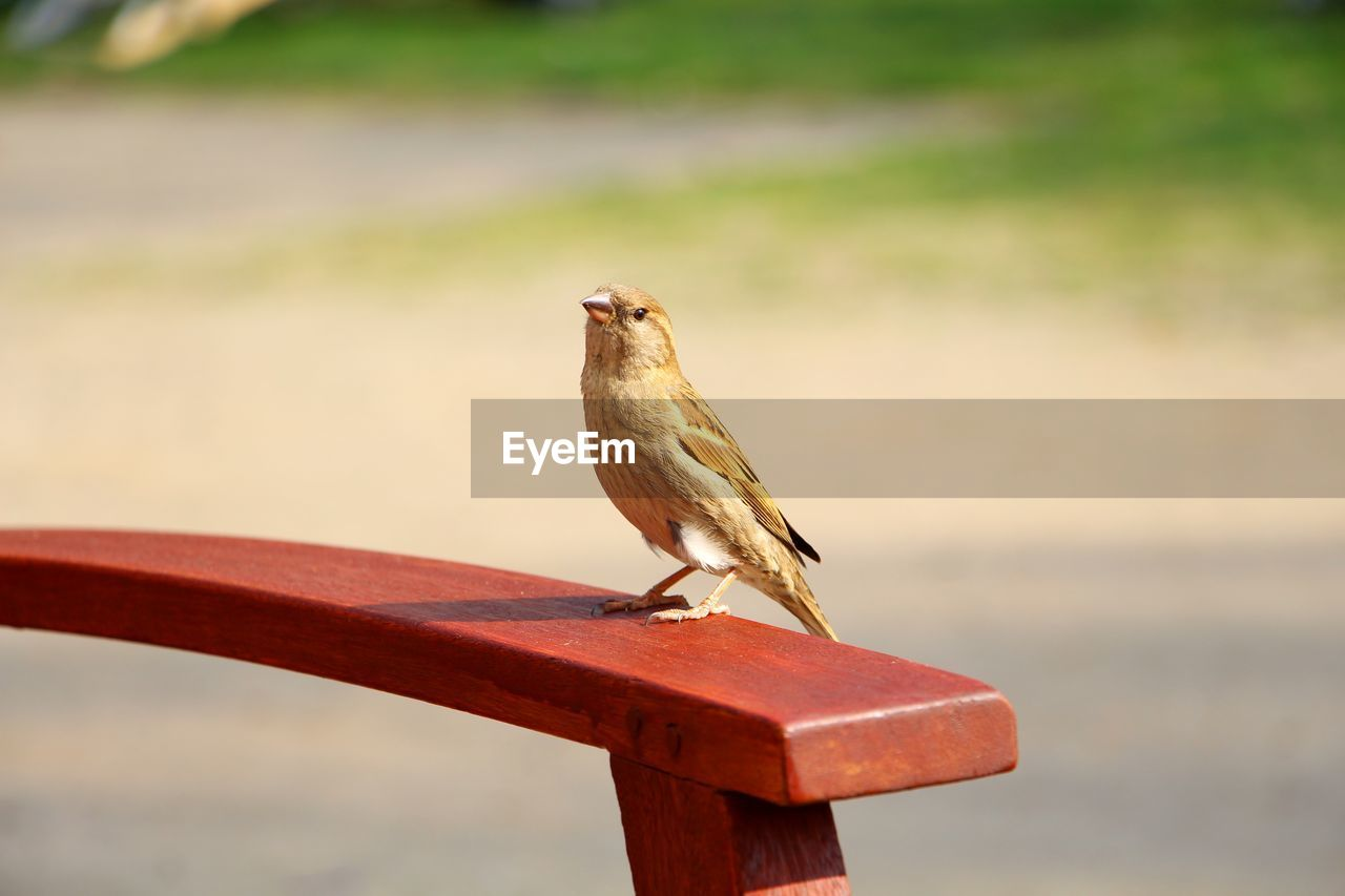 animal themes, animal, bird, animal wildlife, animals in the wild, vertebrate, one animal, perching, focus on foreground, day, no people, sparrow, nature, close-up, outdoors, full length, wood - material, metal, railing, zoology