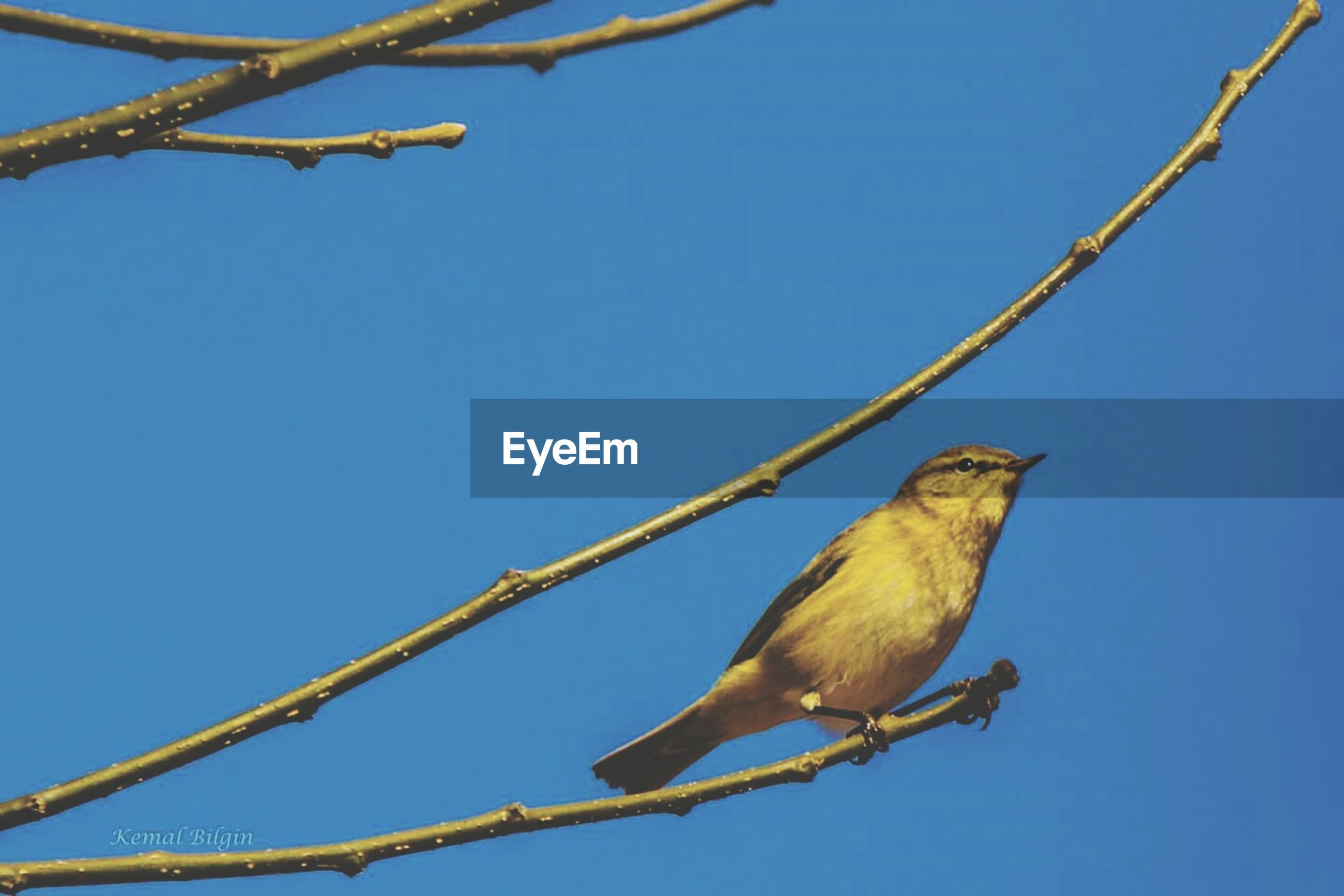 Low angle view of bird perching on tree branch against clear sky