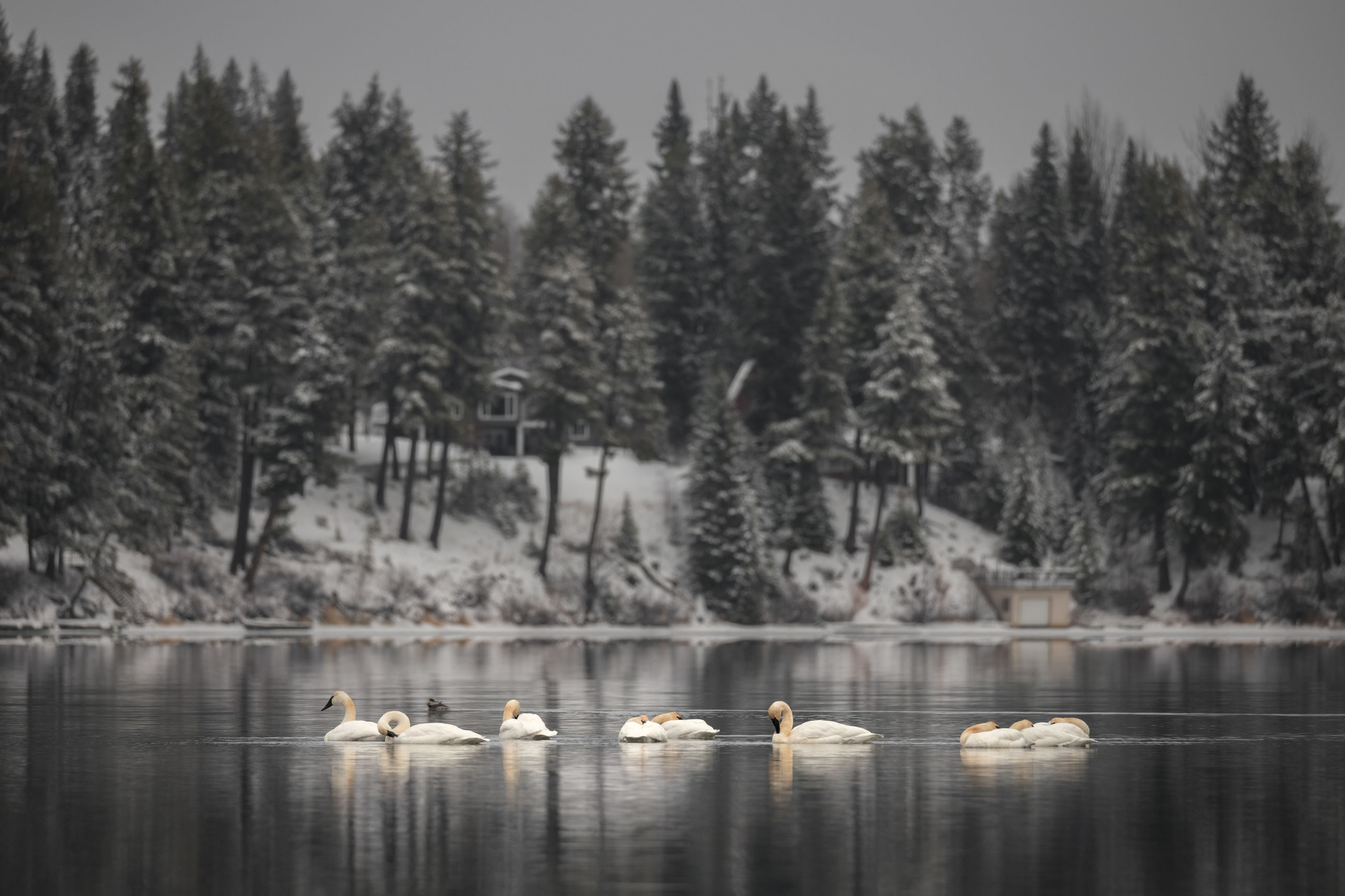 Swans swimming in lake against trees during winter