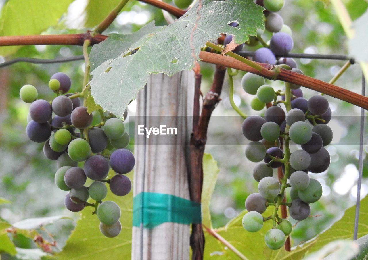 Close-Up Of Vineyard