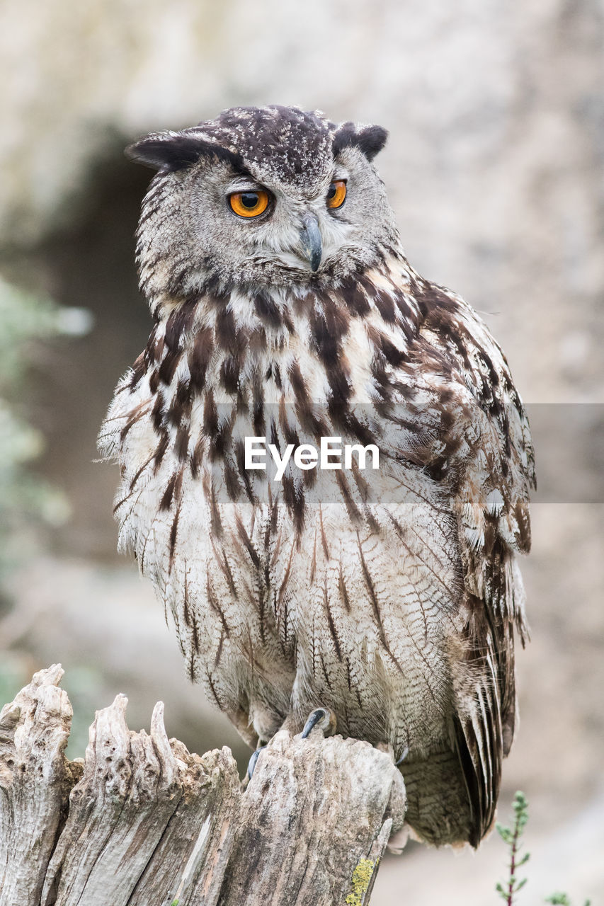 Close-Up Of Eagle Owl Perching On Wood