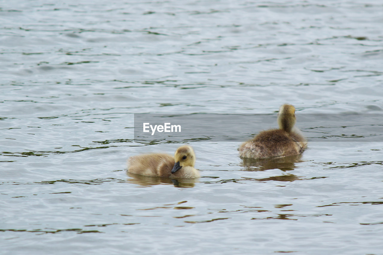 animal themes, animal wildlife, animal, animals in the wild, water, swimming, vertebrate, group of animals, young animal, waterfront, young bird, bird, lake, no people, nature, animal family, day, duckling, two animals, gosling, duck, outdoors, cygnet