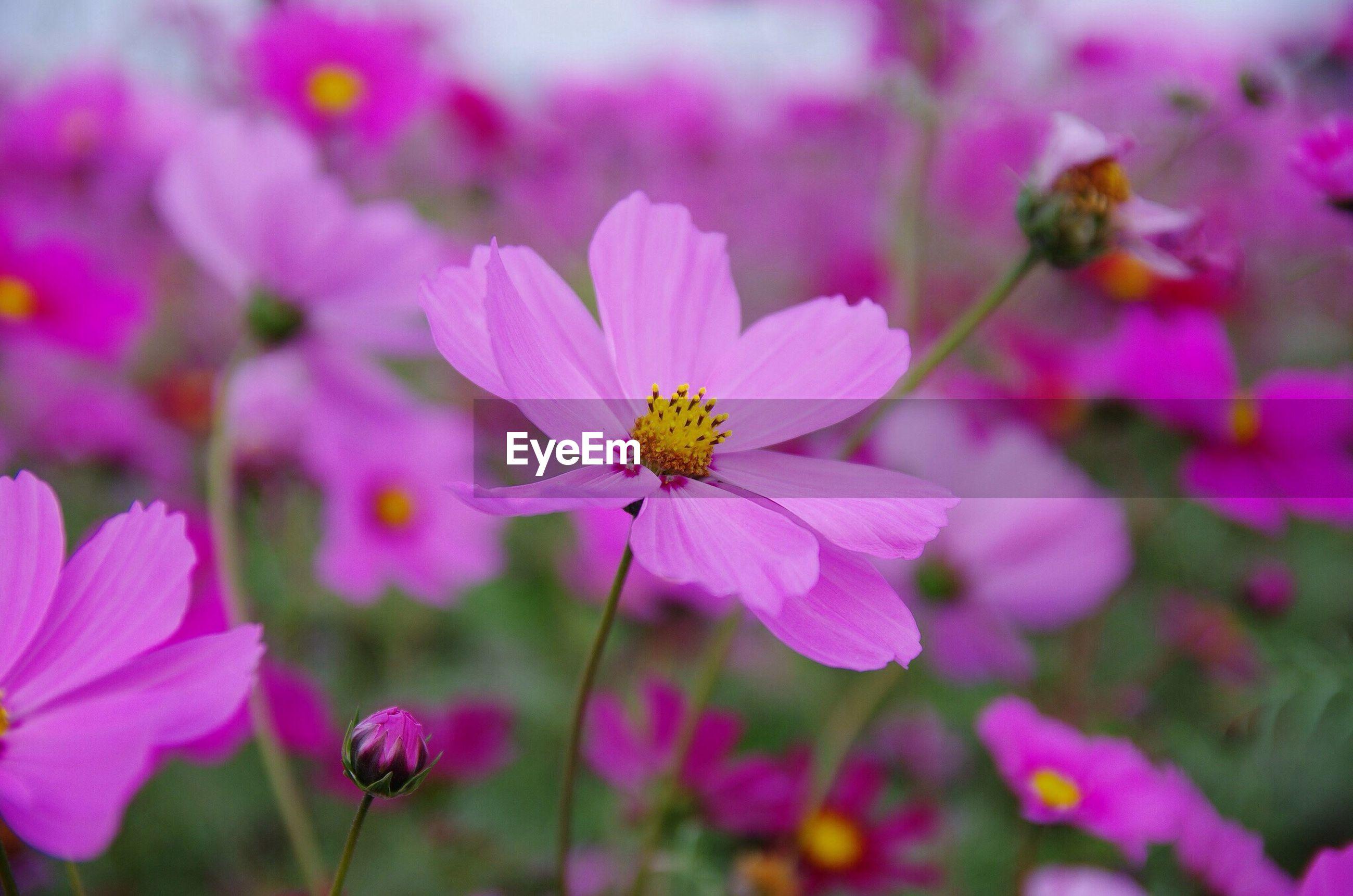 Cosmos flowers blooming on field