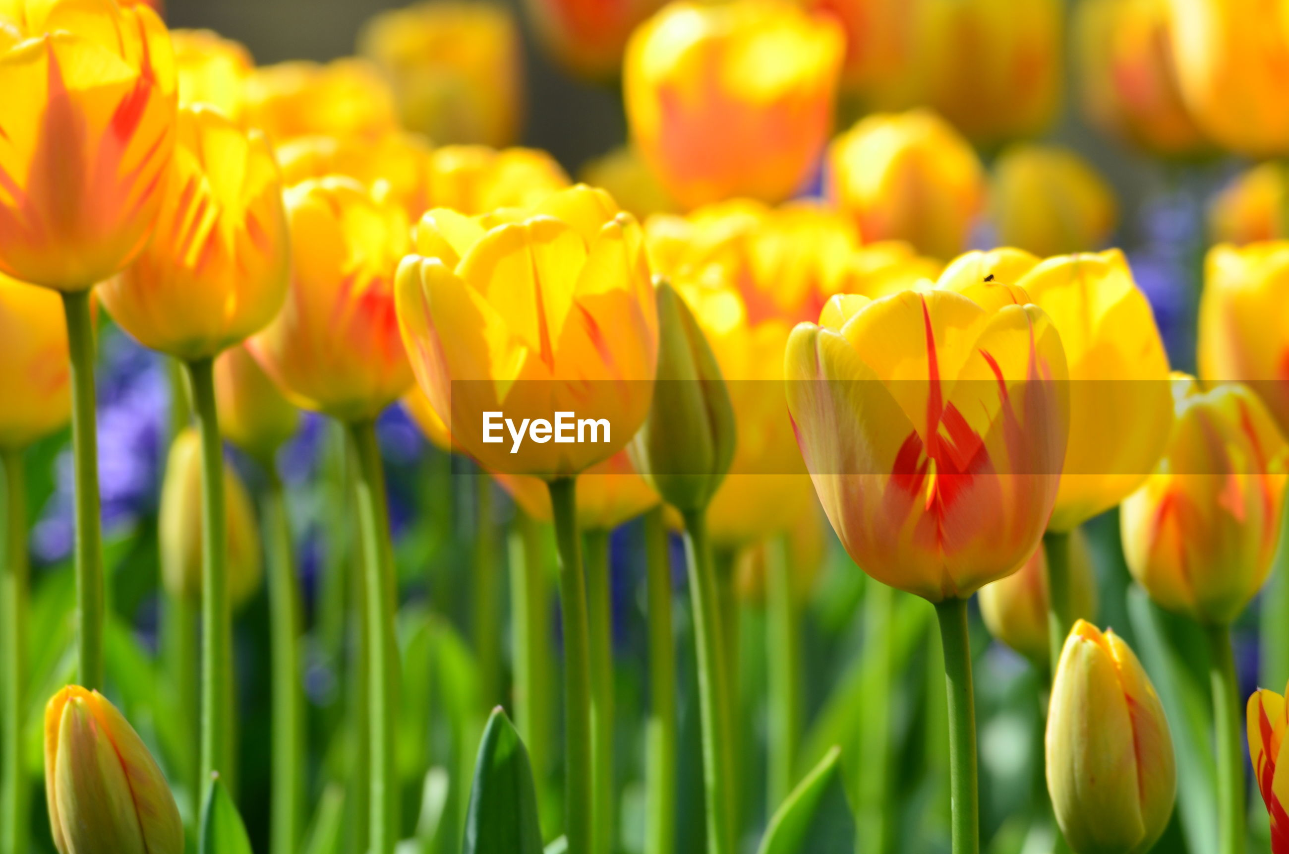 CLOSE-UP OF YELLOW TULIP FLOWERS IN FIELD