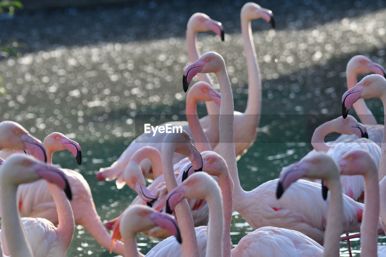 animals in the wild, animal themes, animal, day, group of animals, flamingo, bird, animal wildlife, large group of animals, vertebrate, water, nature, pink color, focus on foreground, sunlight, no people, beauty in nature, outdoors, selective focus, flock of birds, animal neck