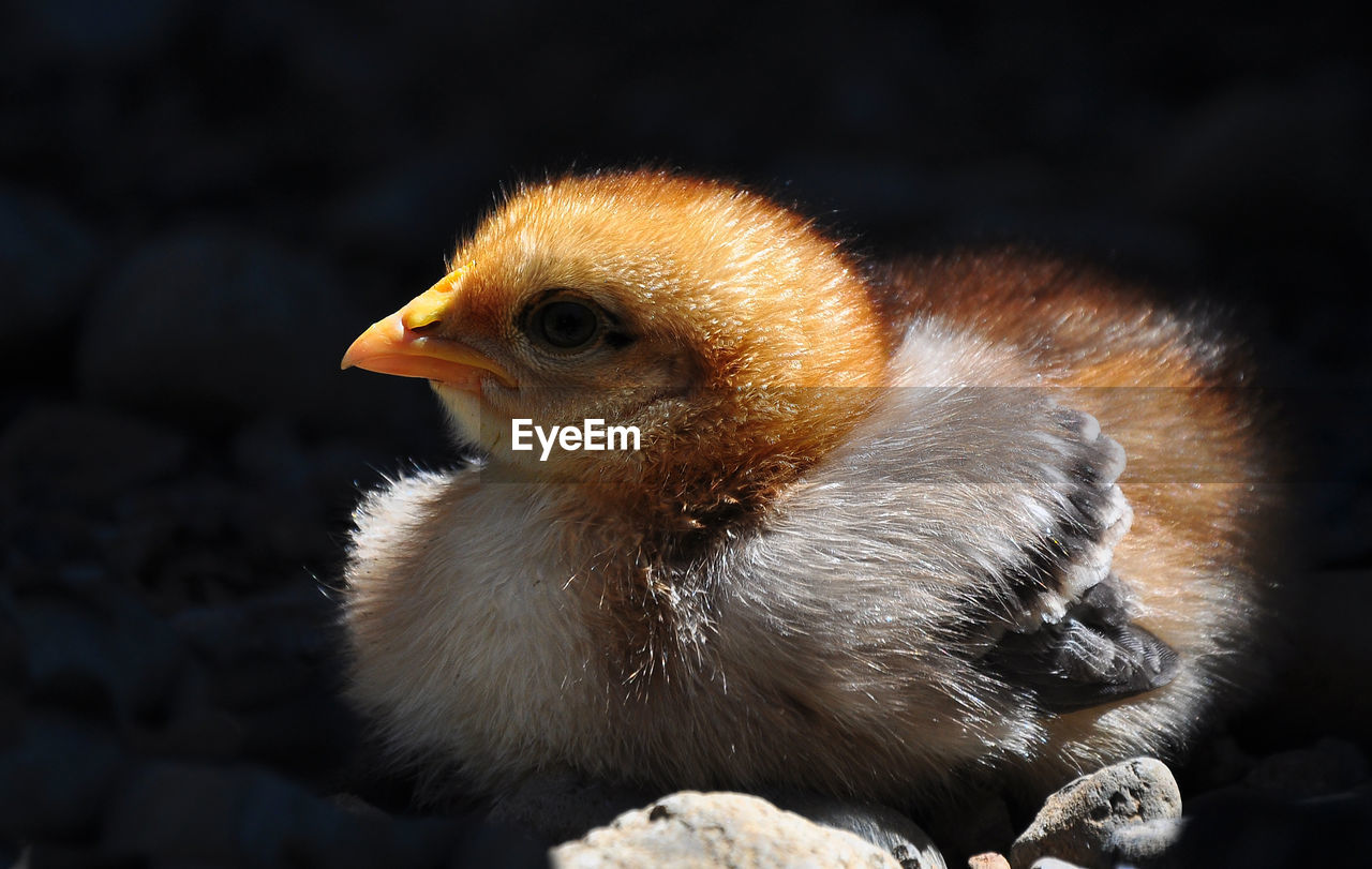 Close-Up Of Baby Chicken
