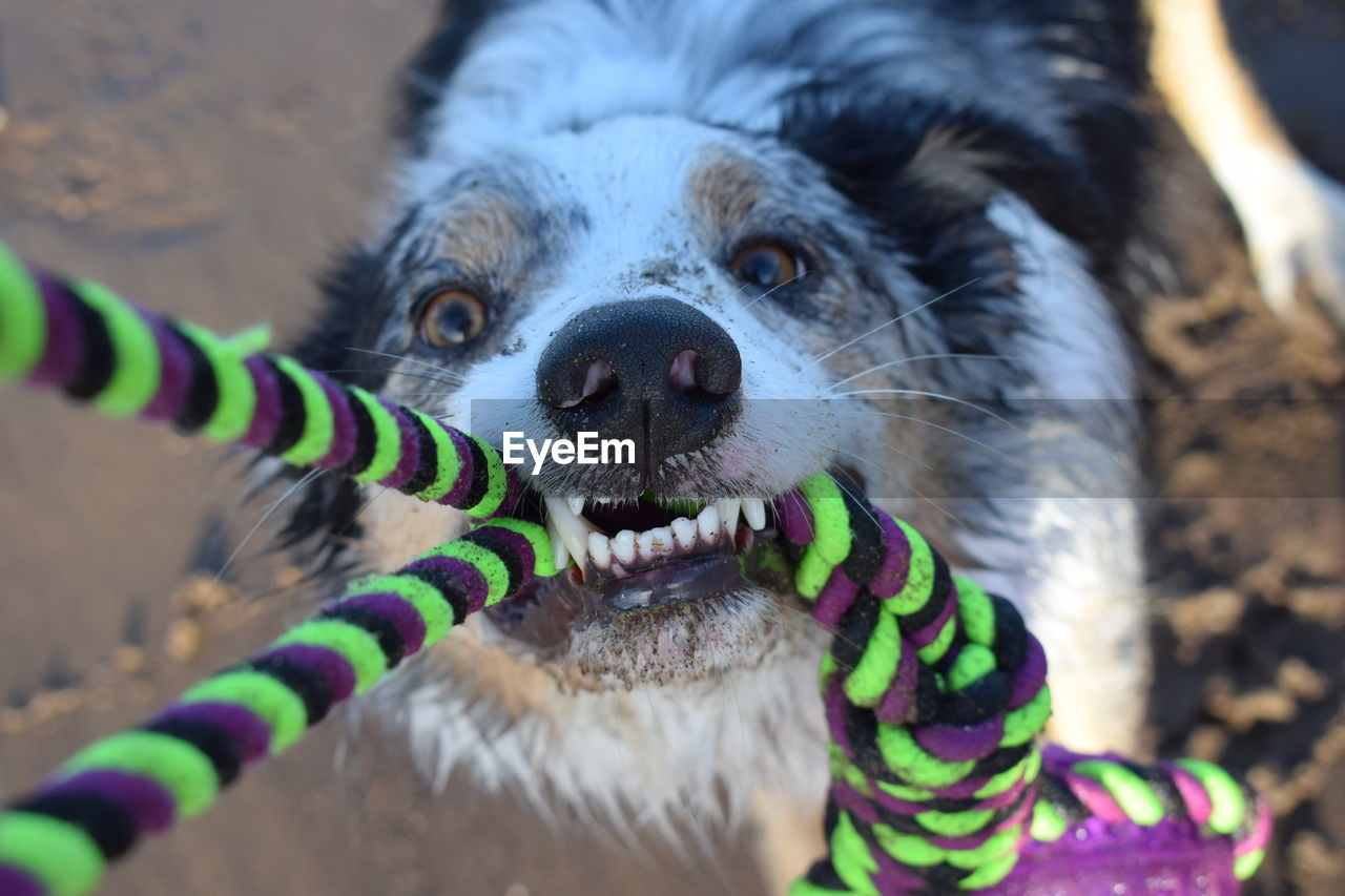 one animal, dog, canine, mammal, domestic animals, pets, domestic, vertebrate, looking at camera, portrait, close-up, selective focus, day, no people, animal body part, focus on foreground, mouth open, animal mouth