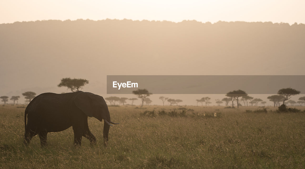 Side View Of Elephant Walking On Grassy Field
